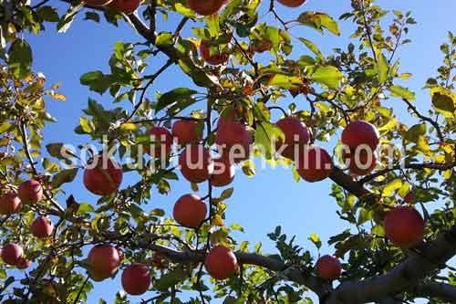 甘酸っぱい青森産の林檎は格別です